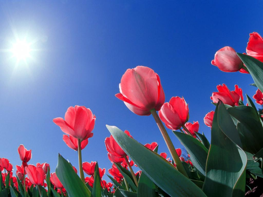 Flores: tulipanes flores hermosas. :) ;)