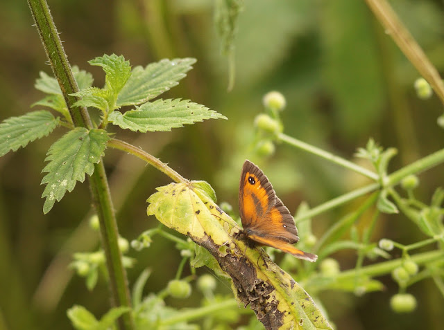 butterflies spotted in Norfolk in summer