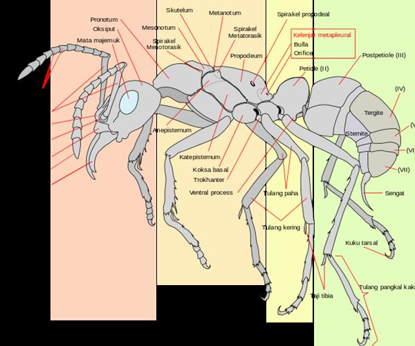 Organ tubuh Semut