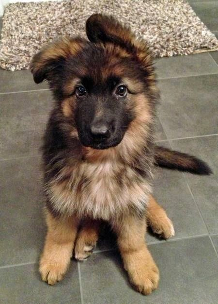 german shepherd with floppy ears cute puppy and dog august 2014 9694