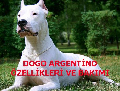 DOGO ARGENTİNO ÖZELLİKLERİ VE BAKIMI