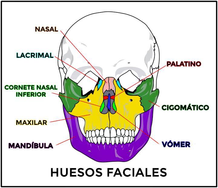 Hueso de la cara y del cráneo