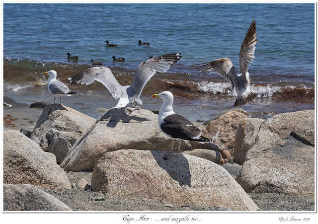 Cape Ann: ... and seagulls too...