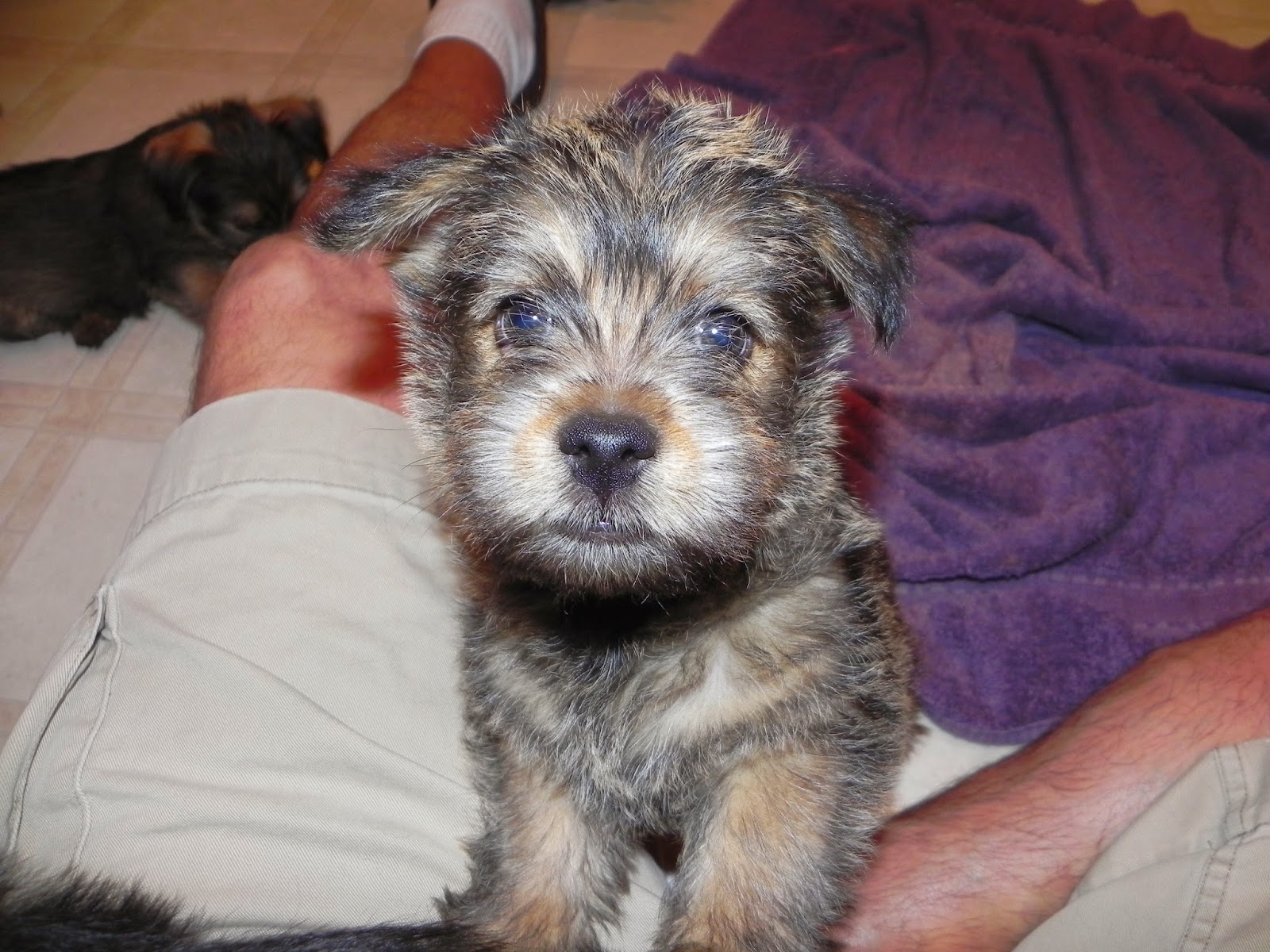 White Diamond Terriers: Nicki's Norwich puppies, 8 1/2 ...