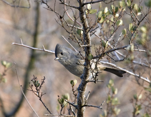Oak Titmouse in scrub oak