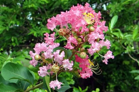 Crepe myrtle Roswell Ga pink bloom japanese beetle