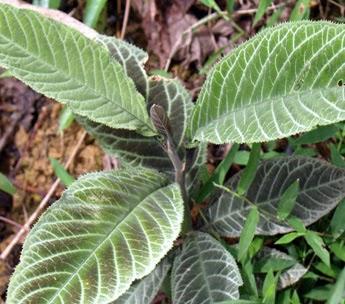 Bài thuốc nam từ cây khôi chữa viêm đại tràng