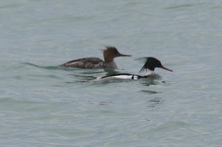 Red-Breasted Merganser Couple.