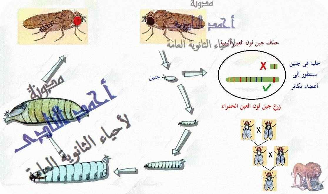 أحياء الثانوية  العامة - تقنيات التكنولوجيا الجزيئية ( الهندسة الوراثية ) - تقنية DNA  معاد الإتحاد  - حشرة الدروسوفيلا