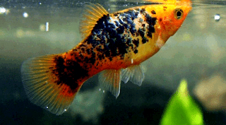 Gambar ikan Platy Variegated Pattern