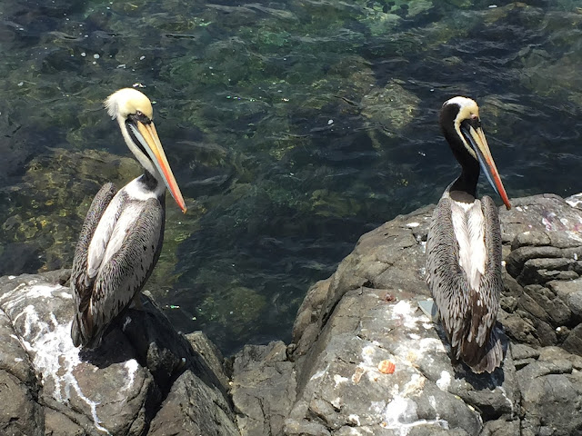 Pelícanos en Zapallar