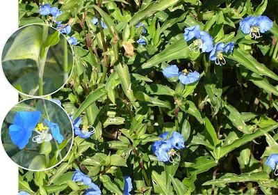 Resultado de imagen para planta raiz de santa lucia propiedades