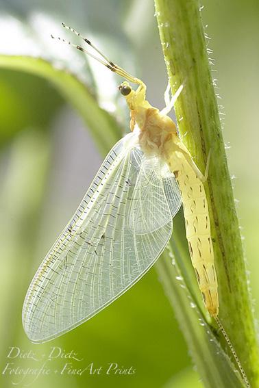Frisch geschlüpfte Eintagsfliege (Ephemeroptera / Ephemoptera)