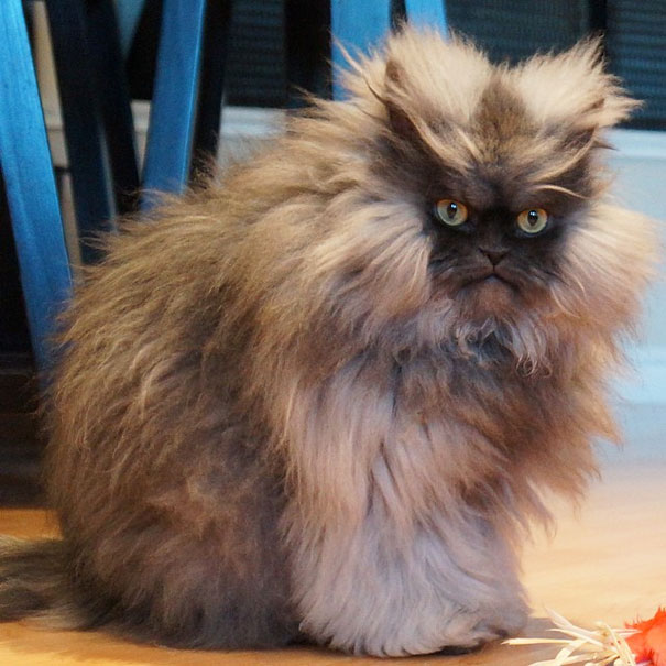 Colonel Meow, The Holder Of Guinness World Record For Longest Cat Hair-2