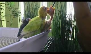 Cara Melatih Anakan Lovebird Makan Sendiri