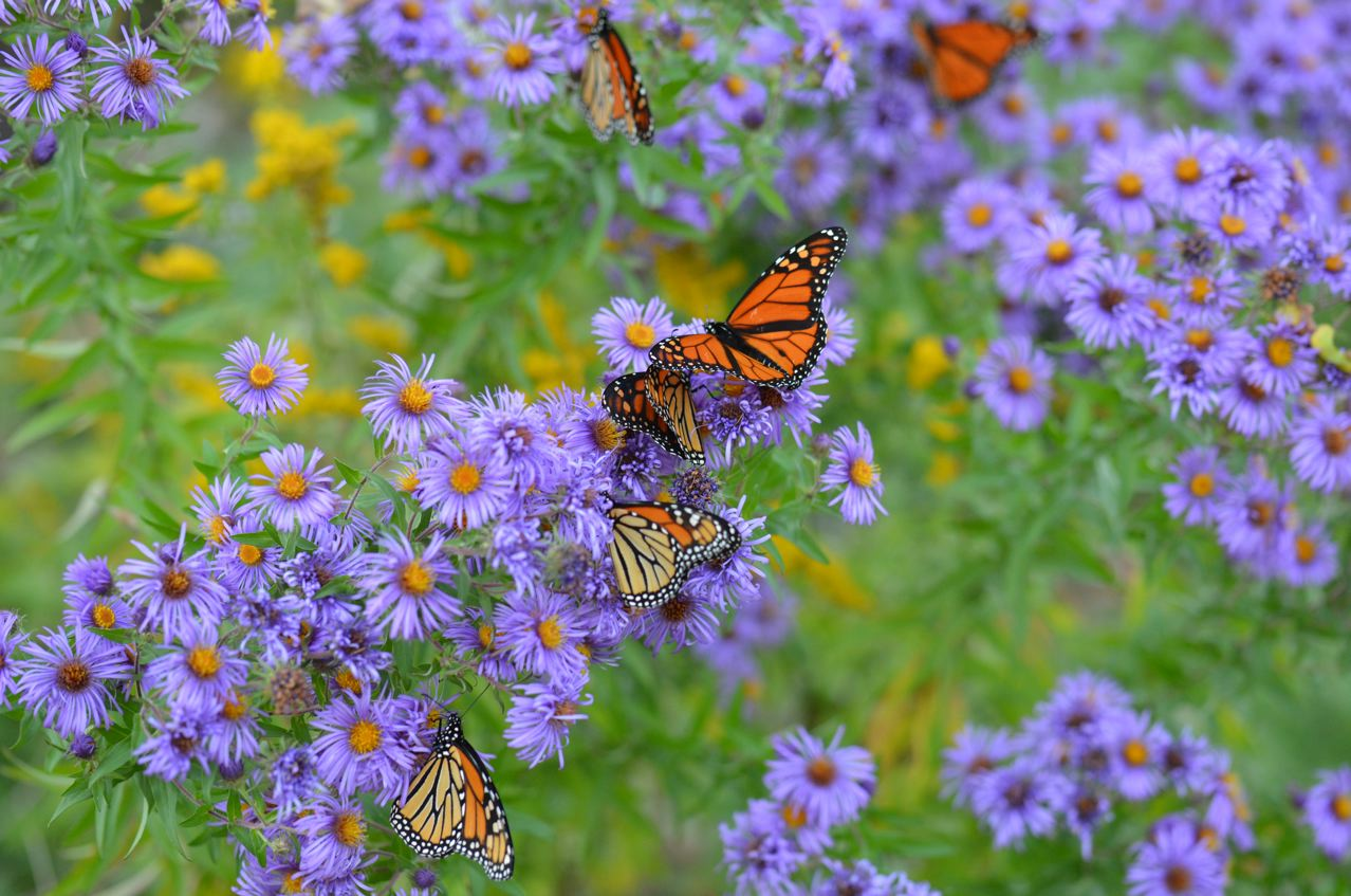 Flower Hill Farm Wild And Native New England Asters