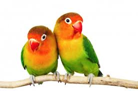 burung kovebird