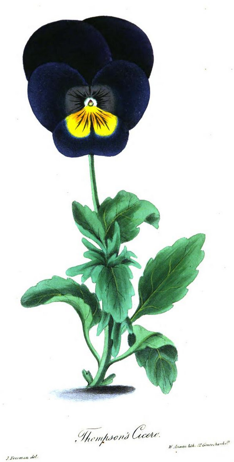 In the middle of the thirties (1830s) the price for new and good varieties  was 5s. a plant, and for specially excellent ones a far higher price was  paid; ...