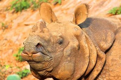 One horn rhino of Pobitora