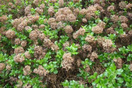 Hortênsias secas em Gramado - RS. Época de poda.