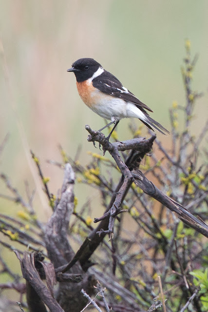 Caspian Stonechat – Titchfield Haven