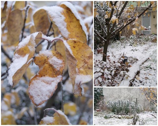 Quitte im Dezember mit Schnee auf den Blättern
