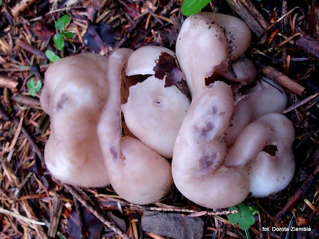 sarcosphaera coronaria, grzyby, atlas grzybow, grzyb, grzyby gatunkami, jaki to grzyby, niejadalne, gatunek, prosto z lasu, las, grzybobranie