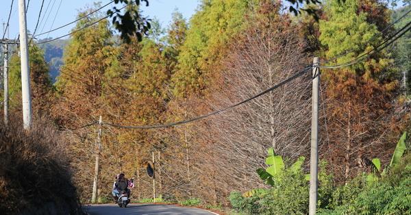 台中東勢|東北巷落羽松|馬路旁一整片落羽松森林|還有生態蓮花池