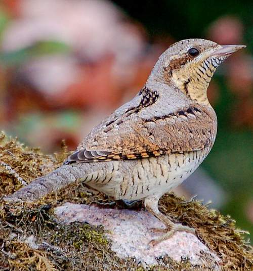 Indian birds - Picture of Eurasian wryneck - Jynx torquilla