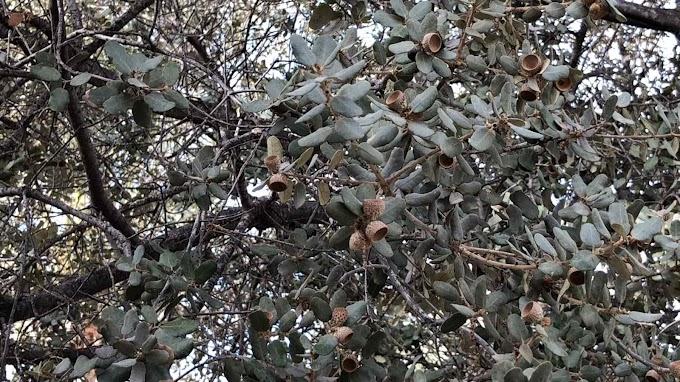 Quercus Ilex Var. Rotundifolia