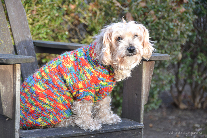 Ruby models the latest in doggie sweater fashion