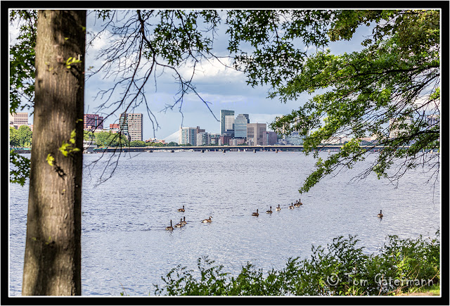 Ducks swimming on the Charles River in Boston.
