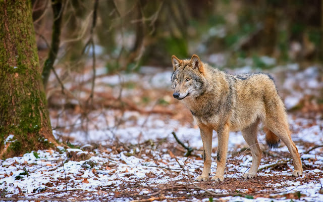 Wolf im wald in den winter