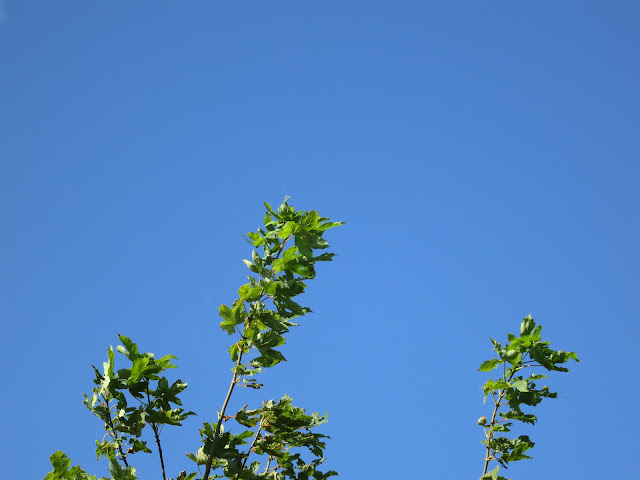 Probably a young sycamore - its leaves against a blue, blue sky