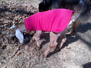 How to make goat kid coats to keep your goat kids warm in winter
