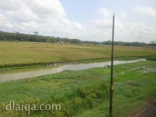 tanaman padi ada yang mulai menguning (1)