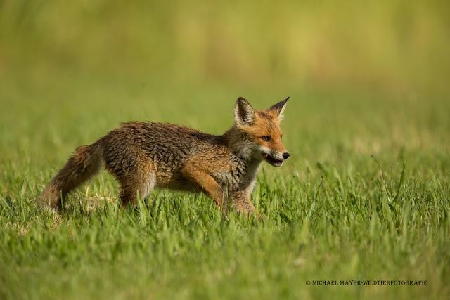 Mehr Füchse – weniger Borreliose-Erreger