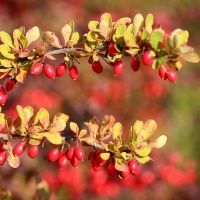 iYURA Reviews - Indian Barberry