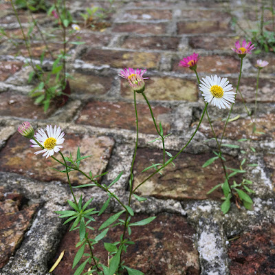 Daisies growing on the Victorian ice house at Tapeley