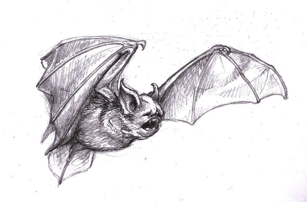 Magellin . Blog: Vampire bat sketch