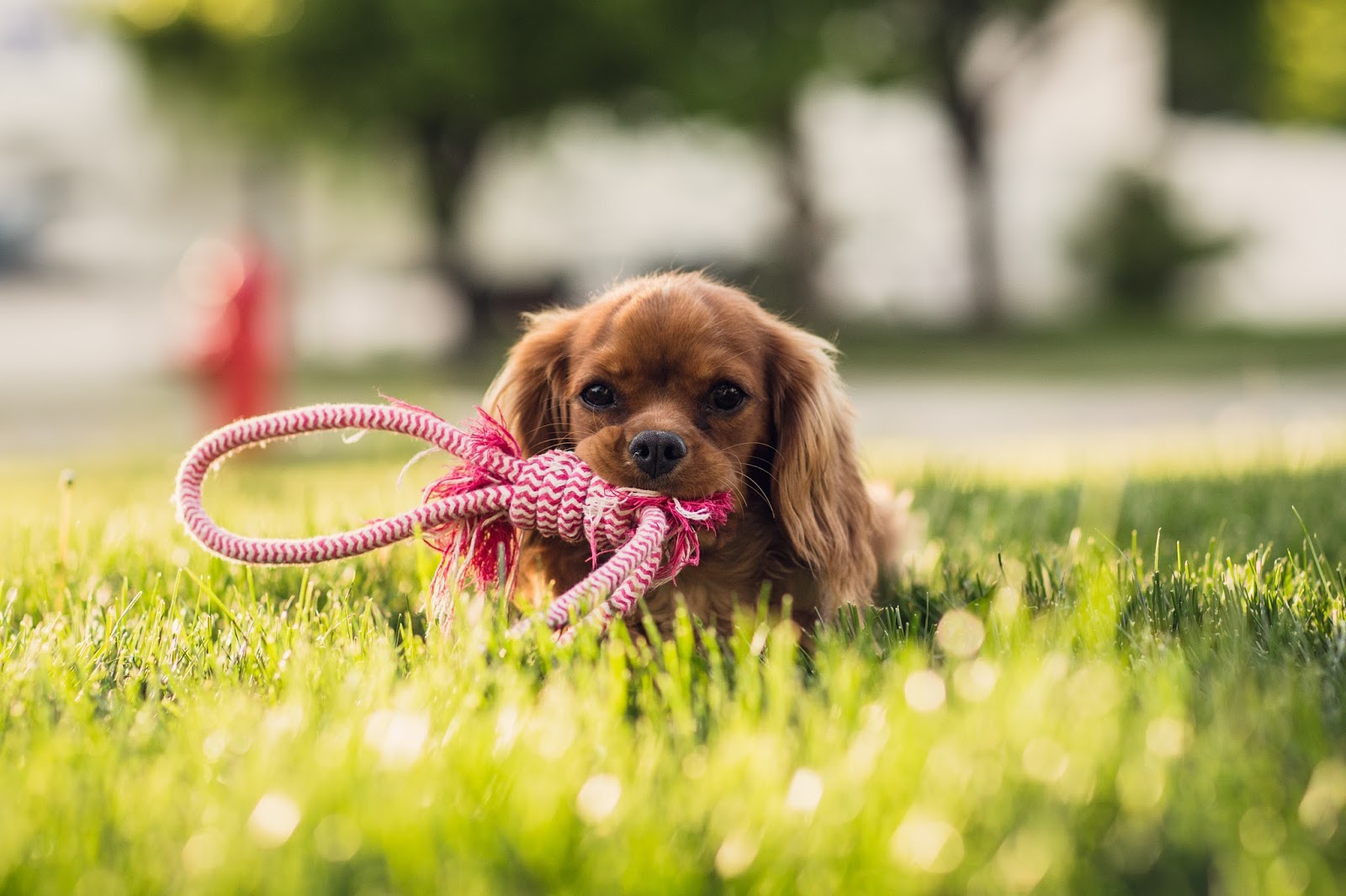 Puppy on the grass with a rope in his mouth