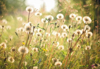 Gambar Bunga Dandelion 2