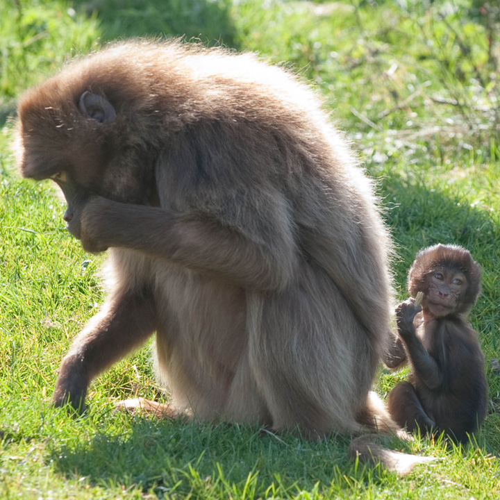 Baby Animals: Baboon infant 17