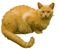 Gato amarelo bravo png