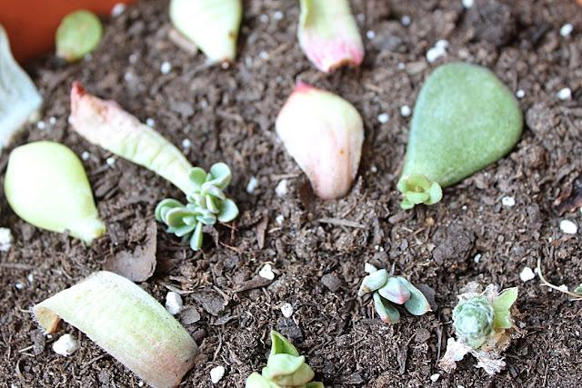 Comment propager les plantes succulentes
