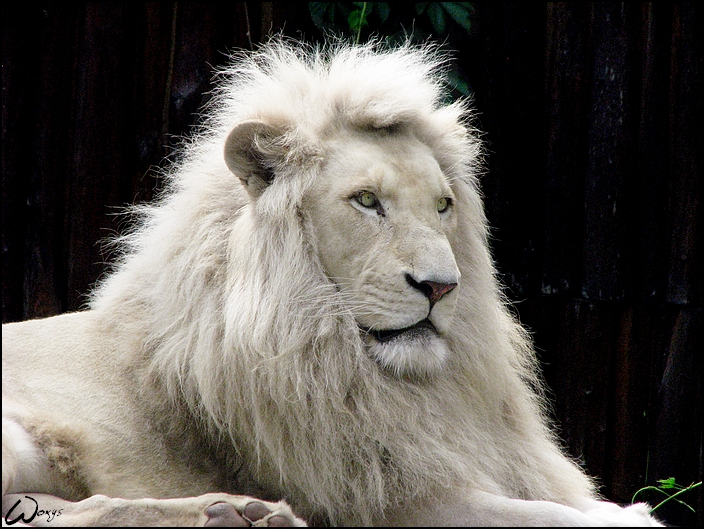 animals world white lion. Black Bedroom Furniture Sets. Home Design Ideas