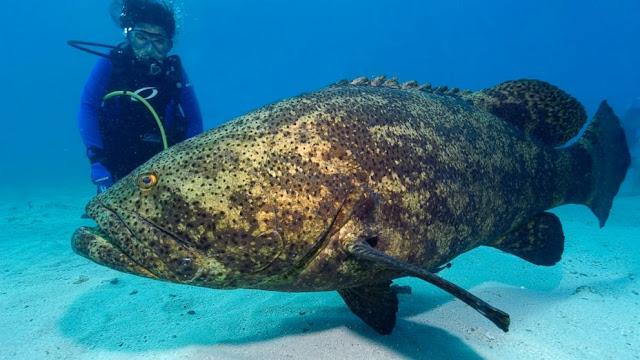 Ikan Kerapu (Grouper)