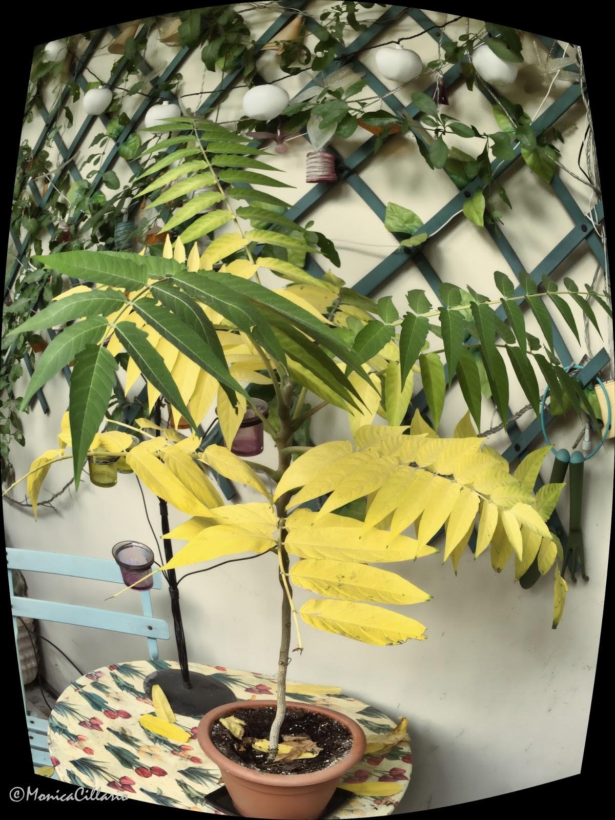 Albero Della Fortuna Pianta una foto al giorno: l'albero del paradiso