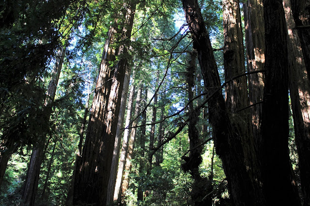 Beautiful Muir Woods, San Francisco - California travel blog