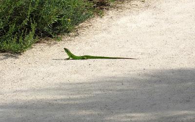 Lagarto verde en la Camarga